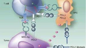 PD-1,抗癌新星如何憋大招?